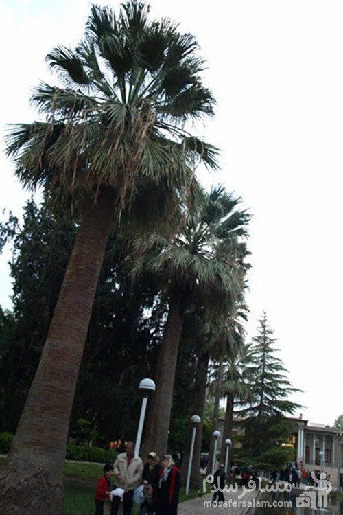 نخل های باغ عفیف آباد شیراز