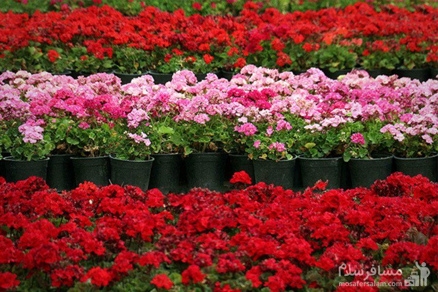 گل های زینتی در باغ ارم شیراز