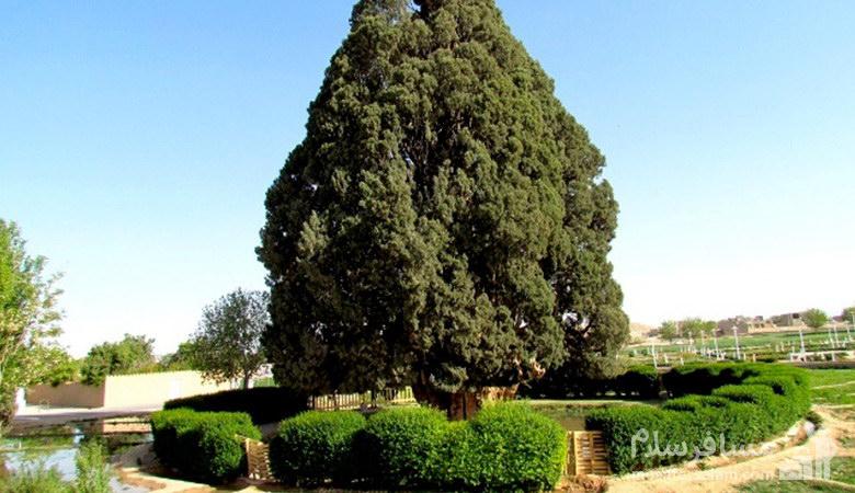 کهنسال ترین درخت یزد