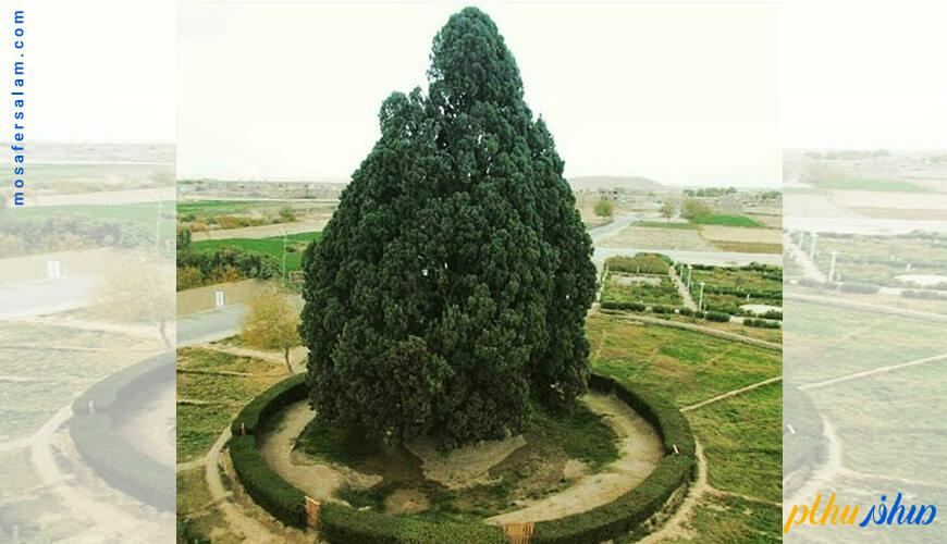 کهنسال ترین درخت ایران و جهان در یزد