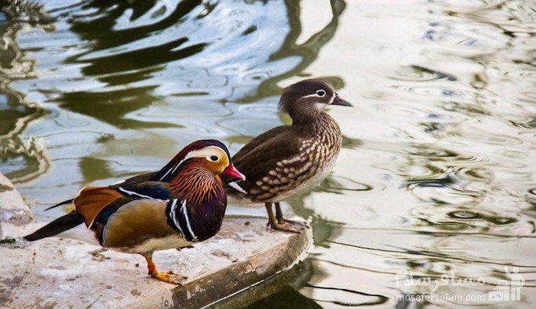 گونه ای از پرندگان