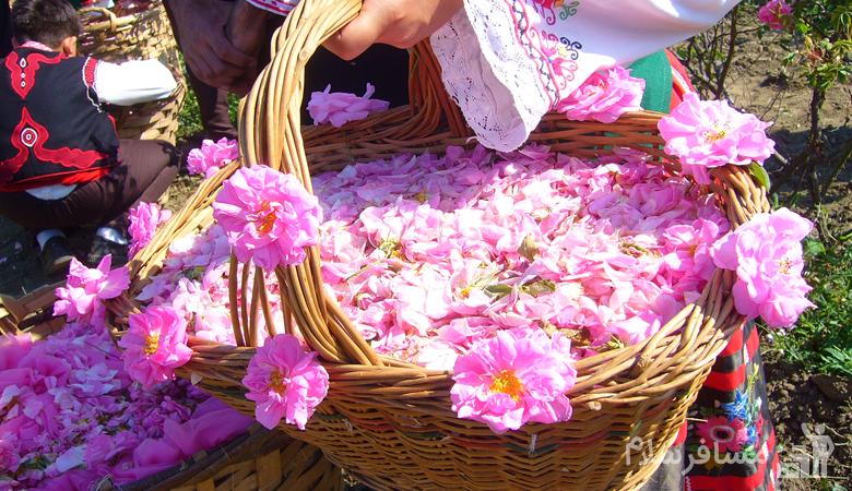 چیدن گل محمدی
