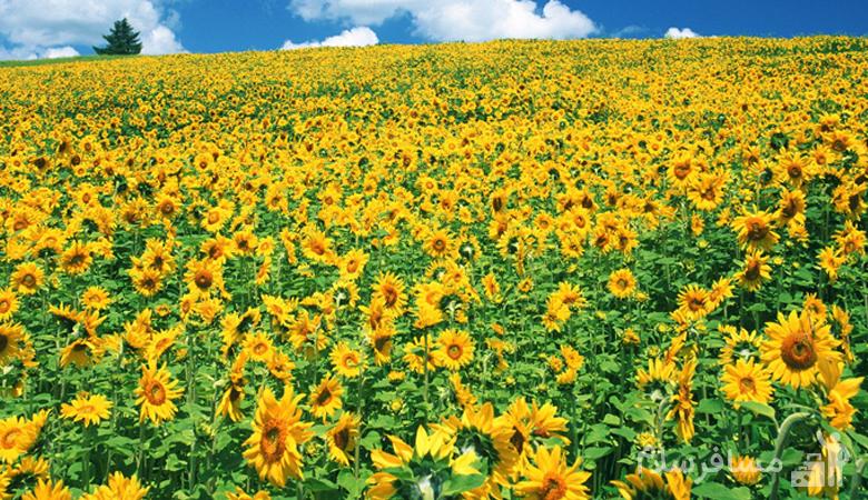 دشت گل آفتابگردان