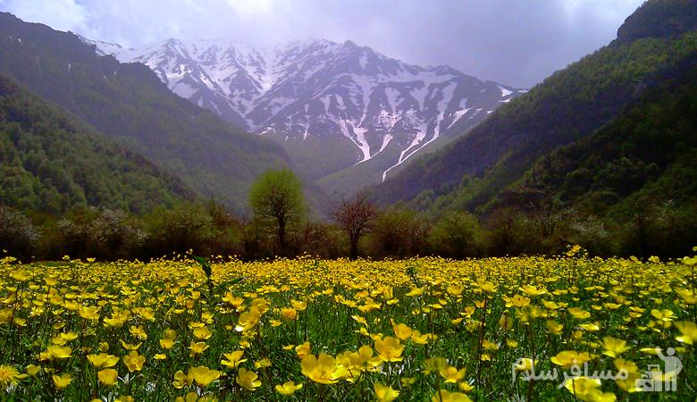 دشت گل بابونه زرد