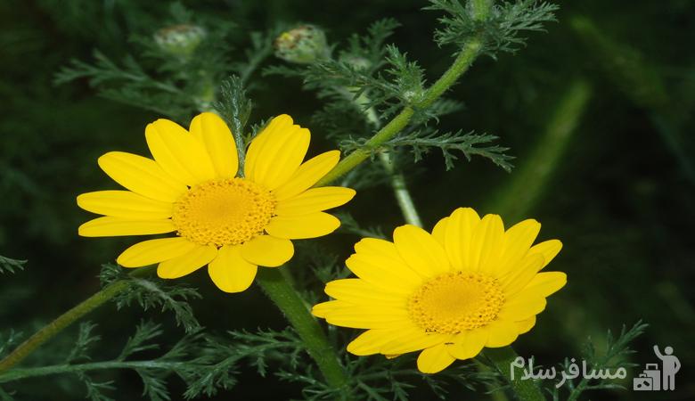 گل بابونه زرد