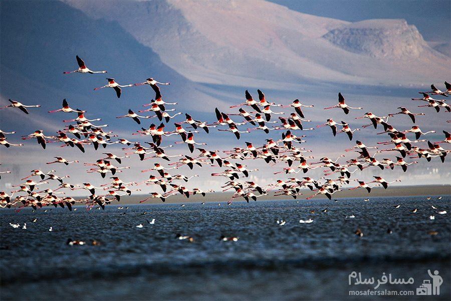 پرواز پرندگان در تالاب میقان