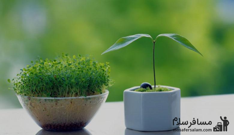 سبزه | تاریخچه هفت سین