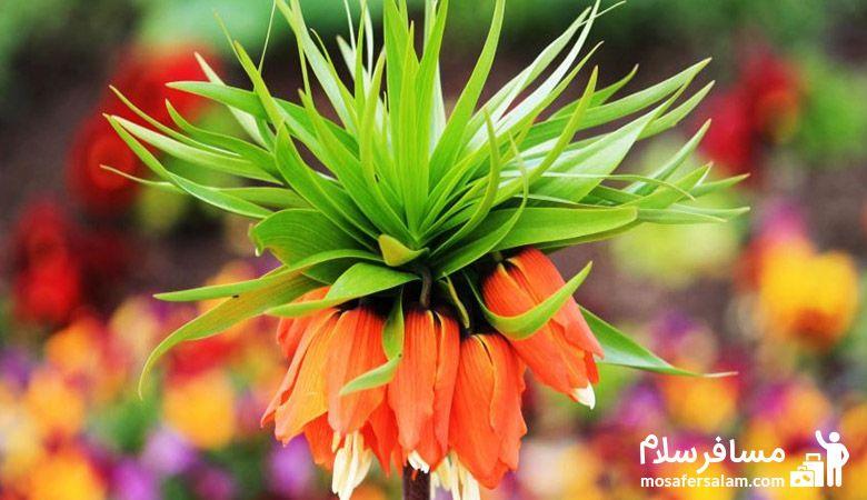 Fritillaria_imperialis، لاله