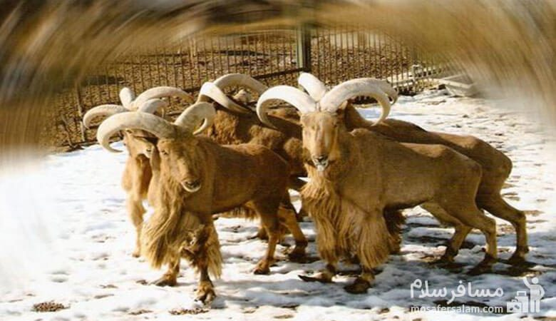 گوزن باغ وحش وکیل آباد