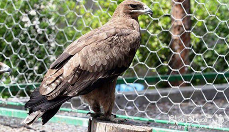 عقاب باغ وحش وکیل آباد