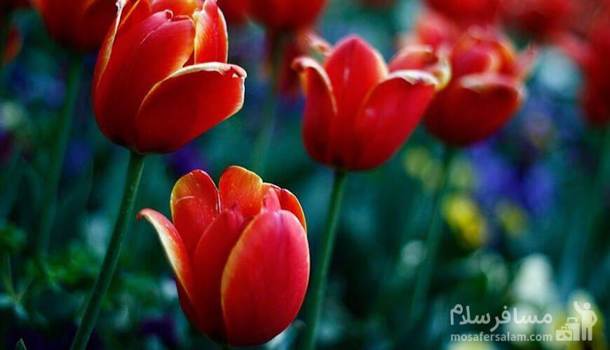 گلهای پارک لاله
