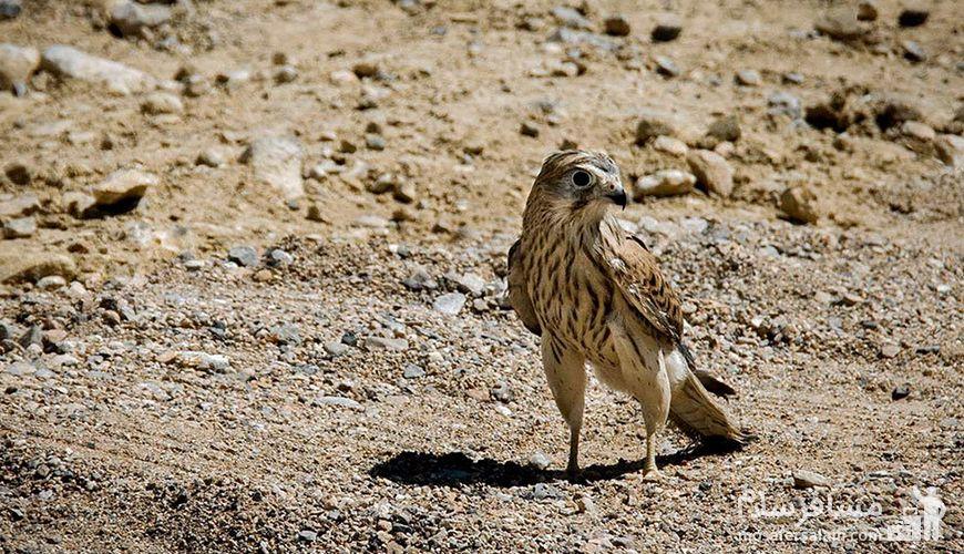 پرندگان گردنه خوش ییلاق